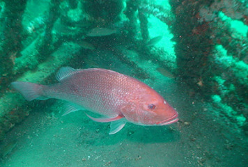 Attention Gulf Red Snapper Anglers
