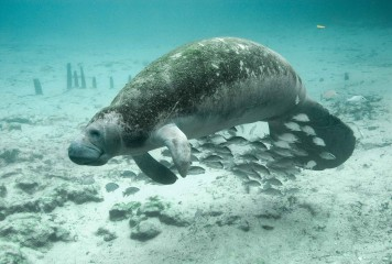 Manatee Down-listing – Public Comment Needed